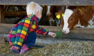 Айрширская корова как ухаживать и чем кормить в домашних условиях