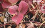 Как бороться с покраснением листьев клубники