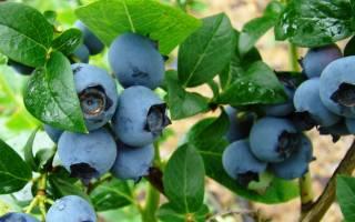 Лучшие сорта садовой высокорослой голубики