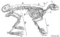 Анатомия кролика строение скелета форма черепа внутренние органы