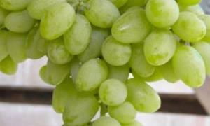 Сверхранний виноград элегант описание и выращивание сорта