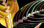 Что делать если листья у маранты желтеют опадают скручиваются