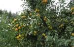 Сорт груши дюймовочка характеристика секреты успешного выращивания