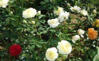 Английская роза пилигрим выращивание и уход
