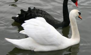 Разведение лебедей в домашних условиях уход и кормление