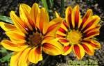 Как выбрать газанию для сада распространенные сорта и виды растения
