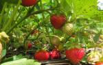Как правильно посадить клубнику весной полезные советы
