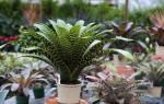 Секреты успешного выращивания вриезии в домашних условиях