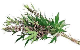 Трава пустырника польза и вред для организма человека