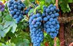 Выращивание винограда в средней полосе советы для начинающих