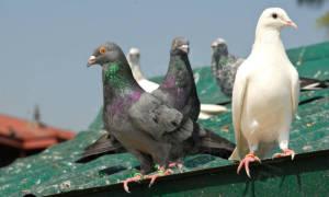 Избавляемся от голубей препаратами и делаем отраву своими руками