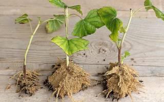 Выращиваем смородину из черенков и саженцев