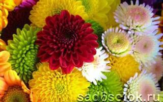 Популярные виды и сорта хризантем