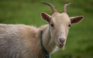 Кровь в молоке у козы причины и способы их решения
