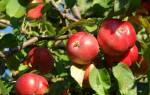 Секреты успешного выращивания яблони пепин шафранный
