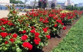 Розы никколо паганини niccolo paganini посадка и уход
