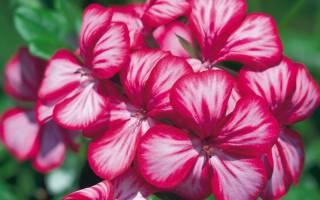 Как самостоятельно вырастить пеларгонию из семян
