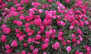 Почвопокровные розы для сада описание сортов