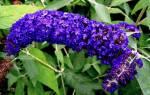 Будлея тонкости выращивания королевы цветущих кустарников