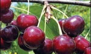Черевишня или дюк как посадить и вырастить