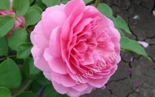 Особенности выращивания сорта роз мэри роуз