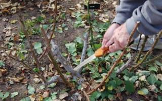 Роза крокус роуз история сорта выращивание и уход