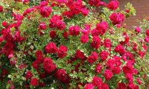 Отличия розы и шиповника что делать если роза превратилась шиповник
