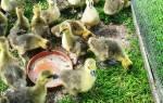 Чем кормить гусят в домашних условиях