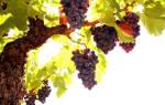 Все самое важное о сорте винограда яся