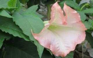 Как размножить бругмансию черенками рекомендации цветоводов