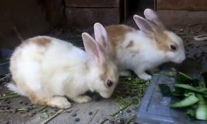 Каким бывает кал у кролика. причины поедания испражнений