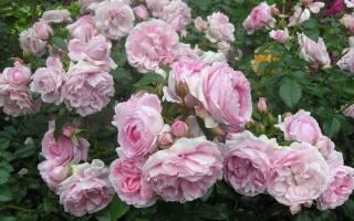 Роза акварель характеристика и сортовые отличия