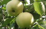 Агротехника выращивания яблони папировка