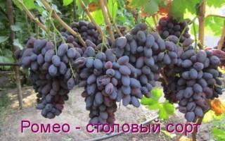 Описание фото и характеристика сорта винограда ромео