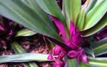 Комнатный цветок рео уход и размножение