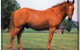 Лошади башкирской породы характеристика достоинства и недостатки
