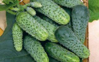 Как посадить и вырастить огурцы лилипут