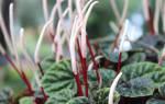Основные виды паперомии названия и фото комнатного растения