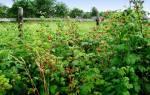 Малина карамелька описание сорта и агротехника выращивания