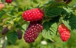 Что нужно знать для успешного выращивания ежемалины