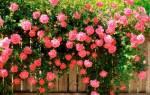 Розы в саду правила посадки обрезки и выращивания цветка