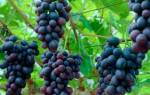 Прививаем виноград осенью