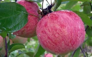 Сажаем яблоню мельба об особенностях сорта и требования к посадке и уходу