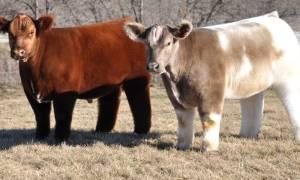 Американская плюшевая корова