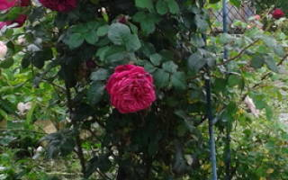 Роза аспирин роуз характеристика советы по выращиванию