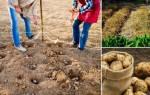 Советы посадки картофеля под зиму