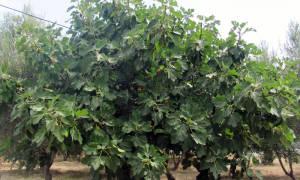 Фиговое дерево или инжир выращивание в открытом грунте