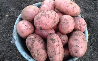 Голландский картофель сорта ред скарлетт