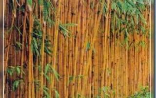 Как вырастить бамбук в открытом грунте