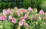 Гибискус травянистый выращивание и размножение